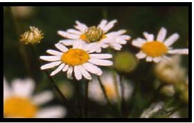 Close up on Scentless chamomile flowers