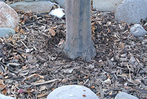 Photo showing a tree trunk mulch raked away from the base of the tree