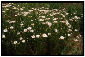 Mature scentless chamomile plant