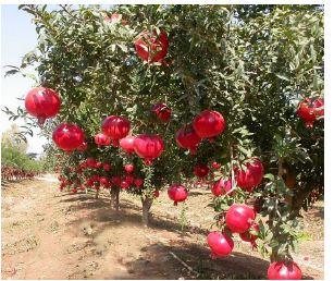 Pomegranate Orchard