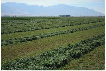 Alfalfa hay production near Orovada, Nevada
