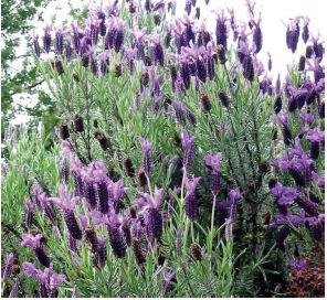 purple native plants