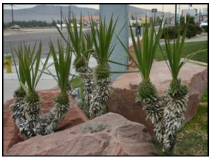 Incorrectly pruned yuccas