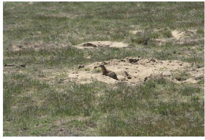 ground squirrel amongst the cheatgrass and Russian thistle growing on abandoned agricultural land