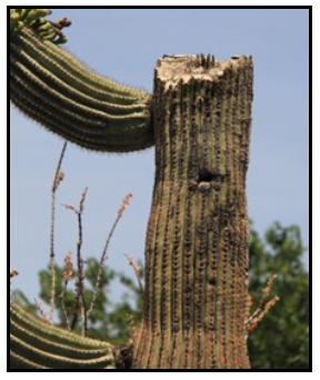 Cactus topped