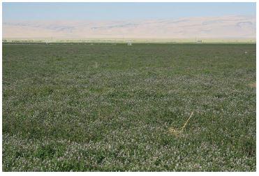 Mint crop near Orovada, Nevada, nearing harvest