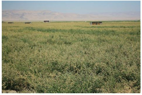 Alfalfa seed crop with sheds for bees used to pollinate the crop