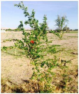 Young Pomegranate Specimen