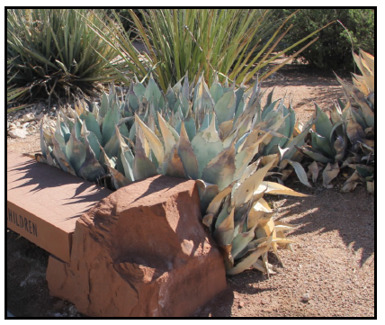 Inappropriately placed agaves