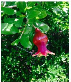 Immature Pomegranate Fruit Forming