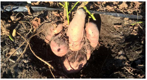 Ripe sweet potatoes