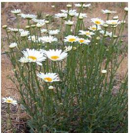 oxeye daisy stems