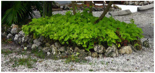 Sweet potatoes as a garden ground cover
