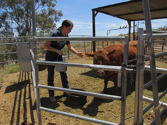 4-H girl feeding brown cow