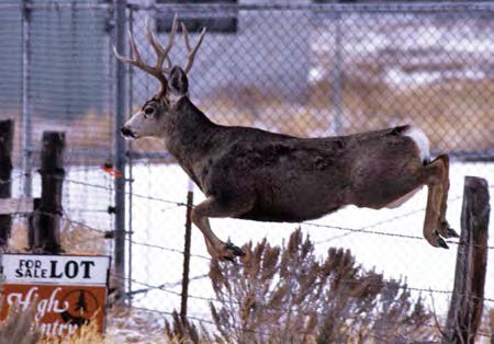 Photo of Deer which is jumping over a fence.