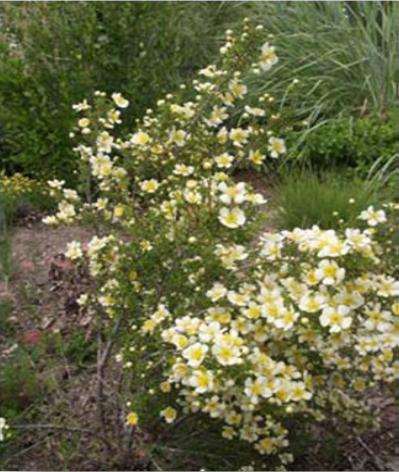 Purshia mexicana plant