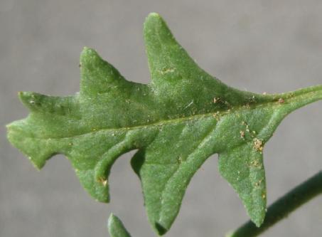 Nightshade leaf