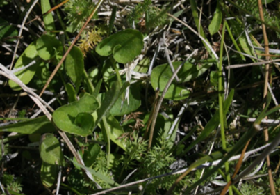 Close up photo of riparian forbs in a meadow.