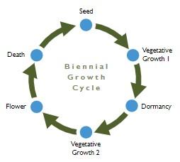 Diagram 2: Biennial Growth Cycle. Seed -> Vegetative Growth 1 -> Dormancy -> Vegetative Growth 2 -> Flower -> Death