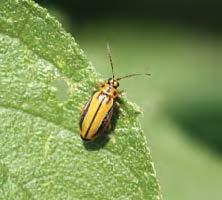 Adult elm leaf beetle on a leaf