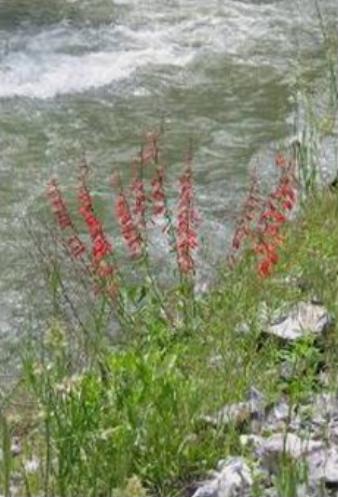 Penstemon eatonii plant