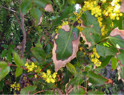 Oregon grape with winter burn