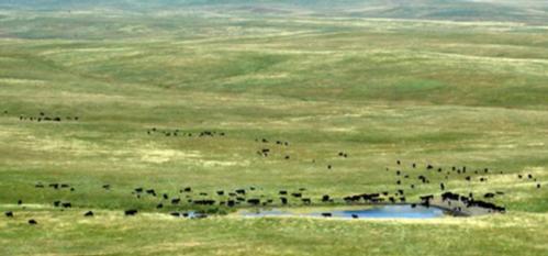 Livestock mostly near a pond in a rangeland setting.