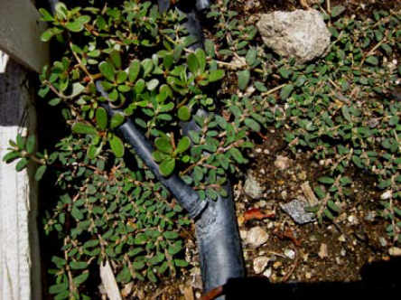 Common purslane growing with other weeds