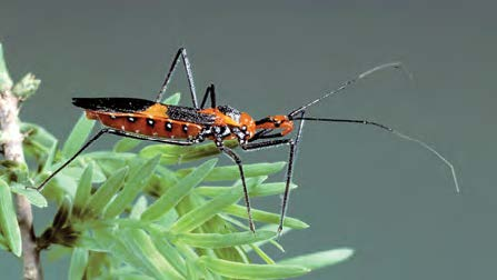 Close up of an adult assassin bug.