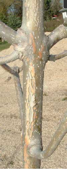 Green ash with sunscald