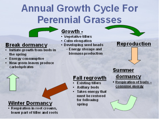 Powerpoint slide sjhowing the cycle of plant growth from breaking dormancy, to growth, to reproduction, to summer dormancy, to fall regrowth, to winter dormancy.