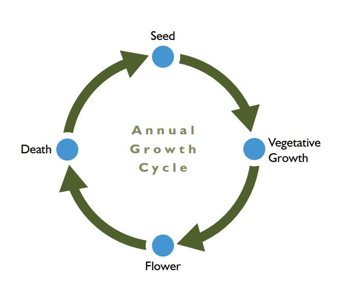 Growth cycle of annual weeds where the phases are seed, vegetative growth, flower and death
