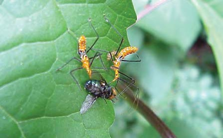 Two assassin bugs feeding on a fly.