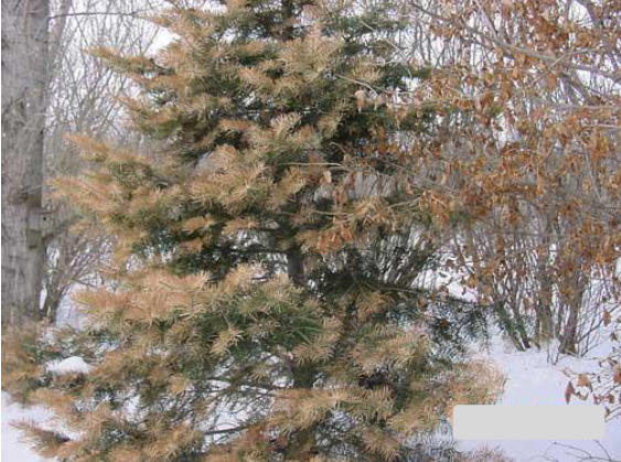 White pine with winter burn
