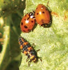Two adult and one larvae ladybird beetles on a leaf.