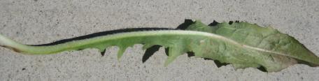 Chicory leaf