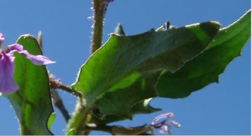 Blue mustard leaf