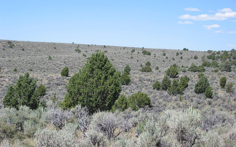Phase 1 of pinyon juniper encroachment on a transitional pathway. toward phase 2