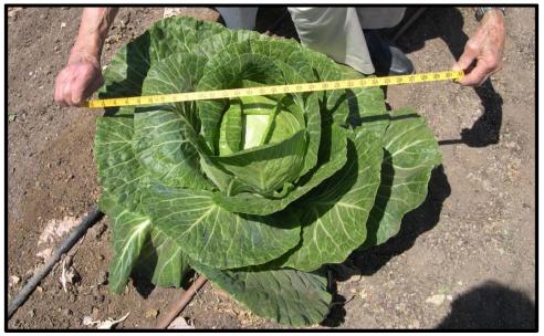Measuring cabbage