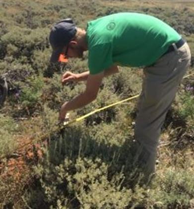 Measuring vegetation cover with line point intercept.