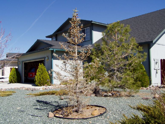 Water stress on blue spruce