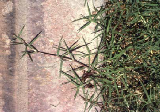 stolon of Bermudagrass