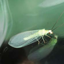 An adult green lacewing.