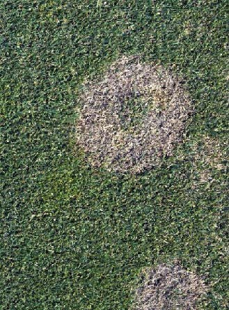 A donut shaped pinkish-brown patch on grass shows the damage done by snow mold.