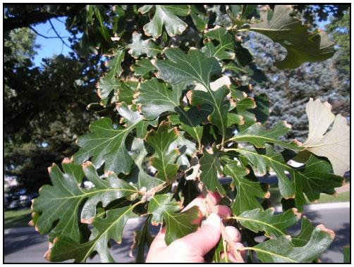 Boron on oak