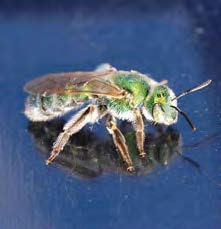 Close up of a green sweat bee.