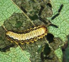 Late instar larvae of a elm leaf beetle on a leaf