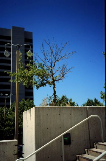 Urban tree in heat stress