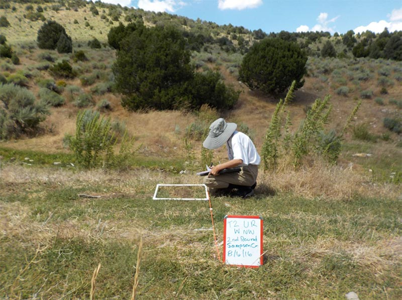 Measuring preferred sage-grouse forbs in a lentic meadow.
