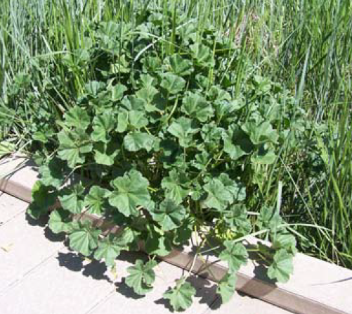Growing common mallow